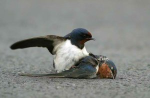 bird_death_die_true_love_animal3