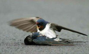 bird_death_die_true_love_animal4