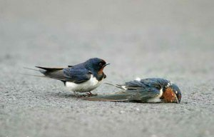 bird_death_die_true_love_animal6